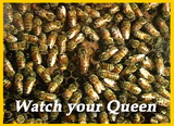 Queen bee in our observation hive